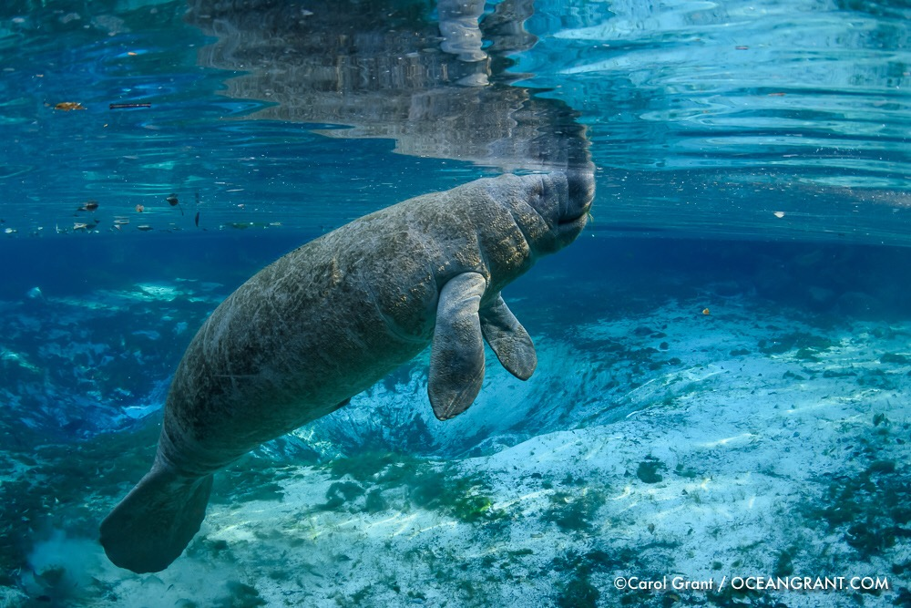 manatee calf,Three Sisters Springs,©CGrant-oceangrant.com