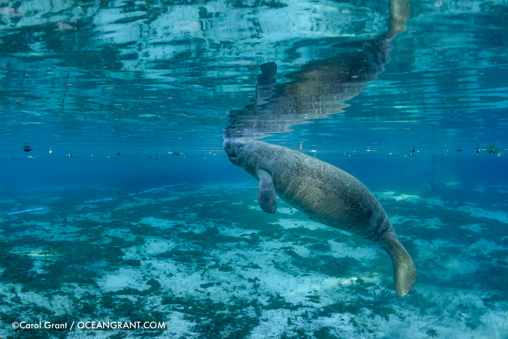 manatee calf, Three Sisters Springs, ©CGrant-oceangrant.com