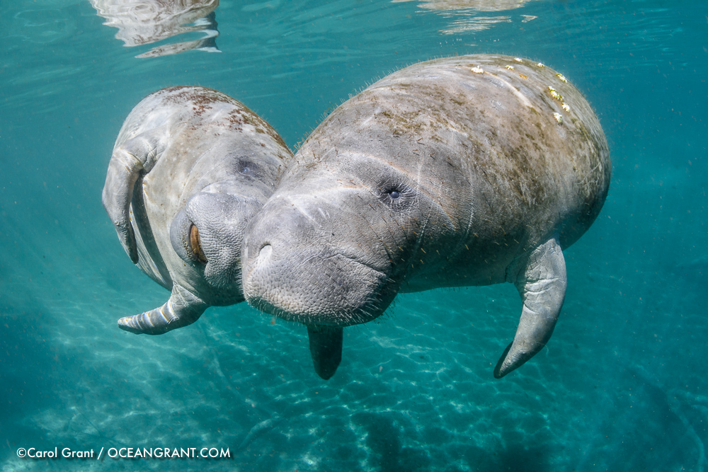 Manatee_mom_calf_20Jan-2609