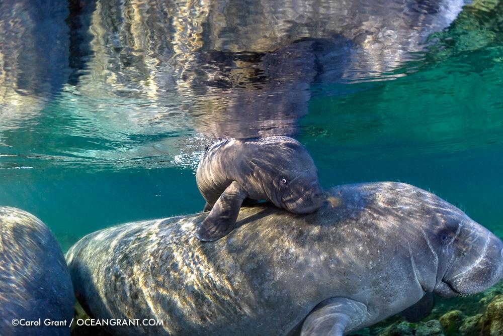 manatee newborn,calf,mother,©CGrant