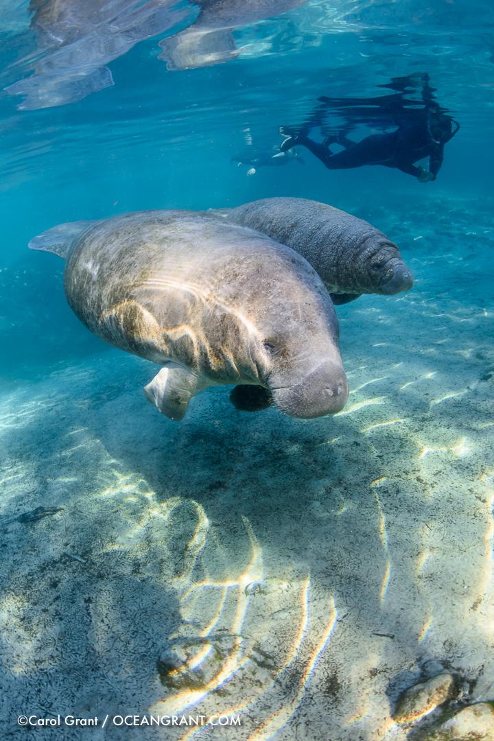 manatee,Florida,calf,wrinkles,©CGrant