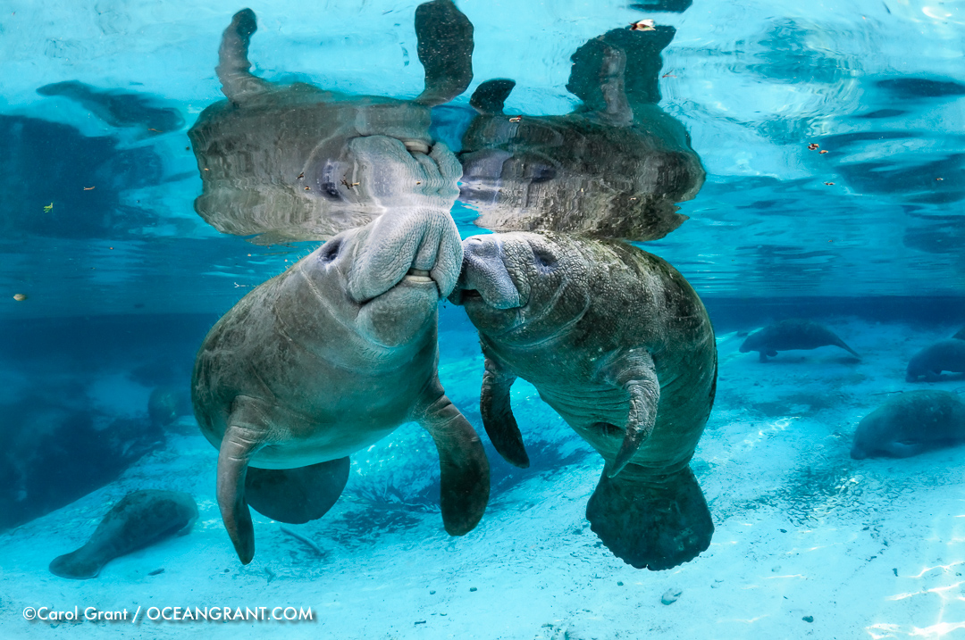 manatee,kisses,Manatee Lagoon,©CGrant