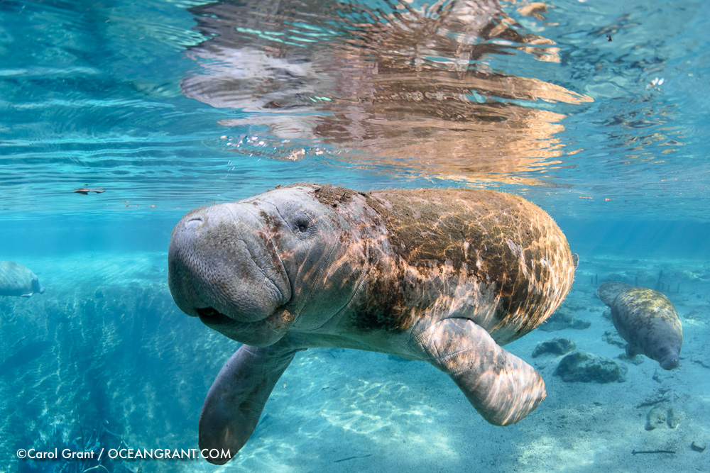 mother manatee,curious,smiling,blue water,©CGrant