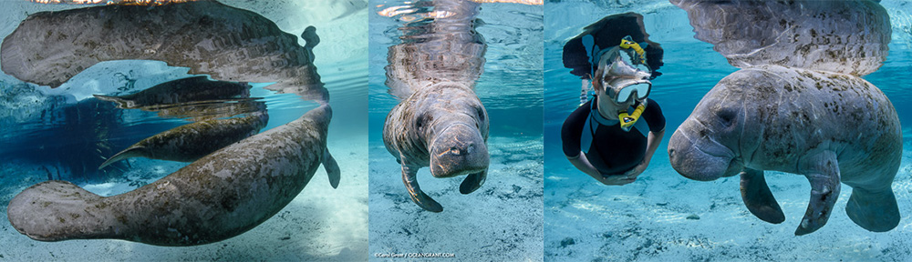 Manatees,Leap Day,Crystal River,©Grant