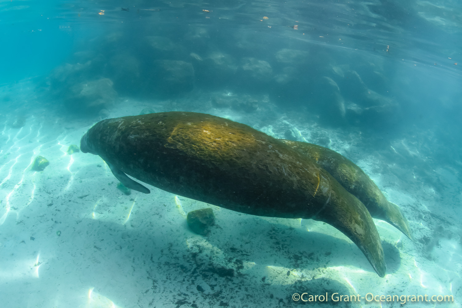 Three Sisters Springs,mother manatee and calf,