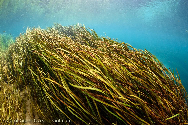 Rainbow River,aquatic grasses, current,