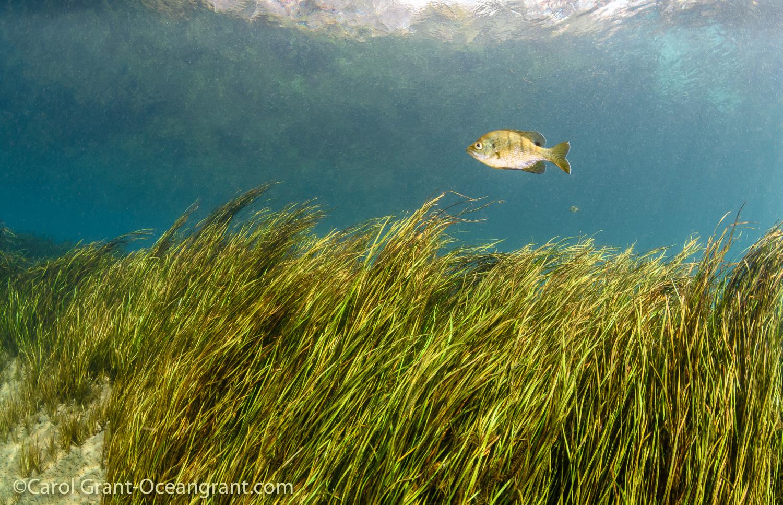 sunfish, aquatic grasses,Rainbow River,dive,