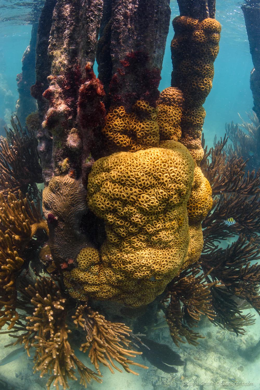 Ft Jefferson coal dock corals,©CGrant-oceangrant.com