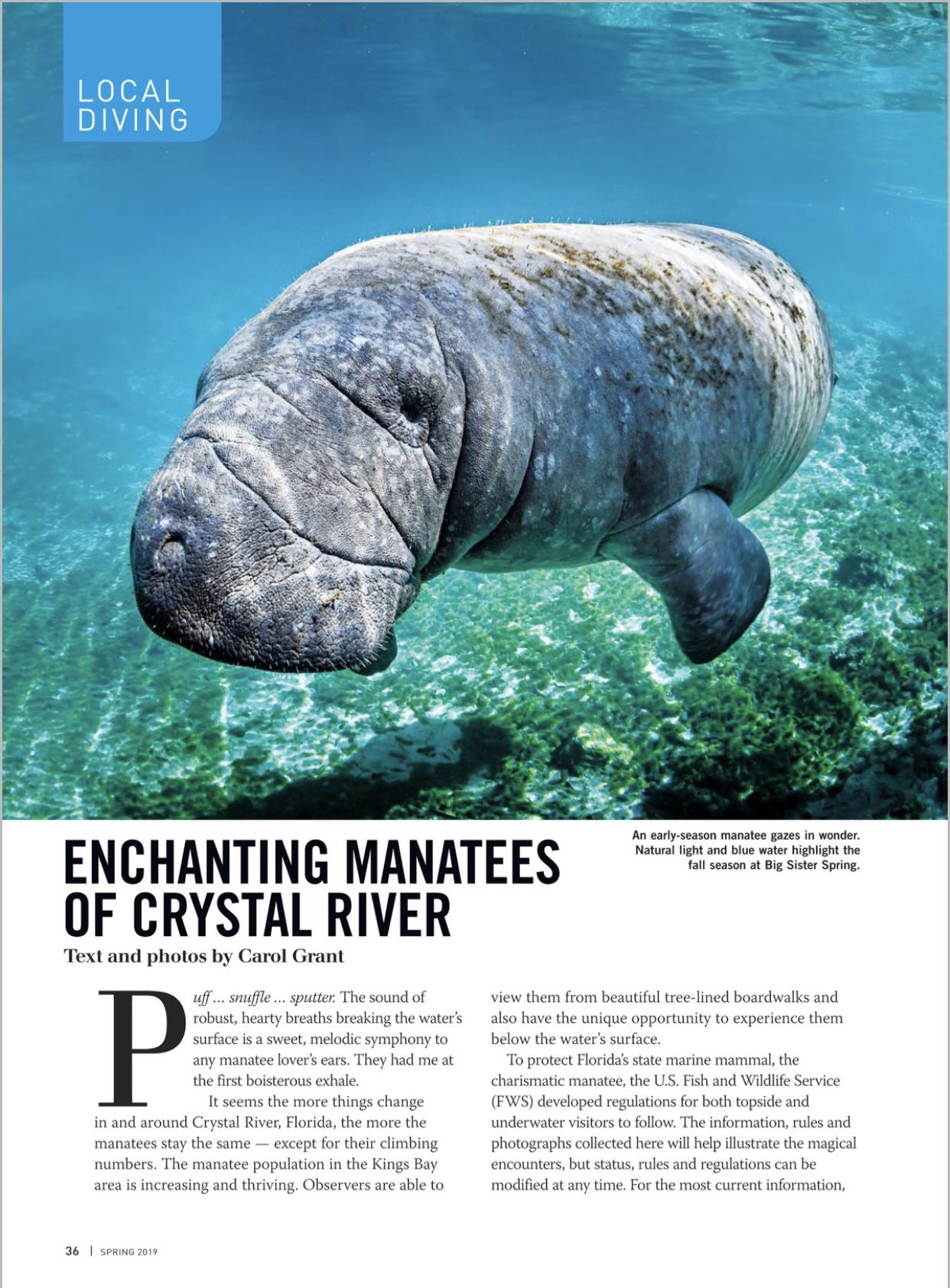 Alert Diver,by Carol Grant,manatees