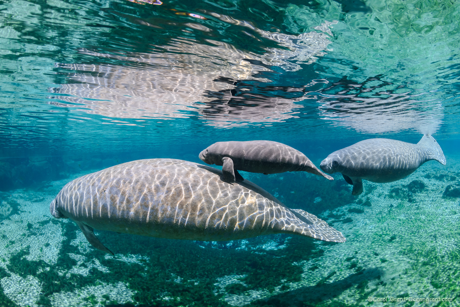Baby manatee with mom followed by male,©CGrant-oceangrant.com