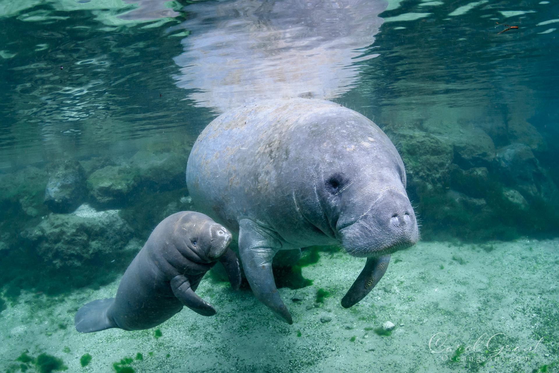 Manatees,mom and calf,©️Carol Grant/Oceangrant.com