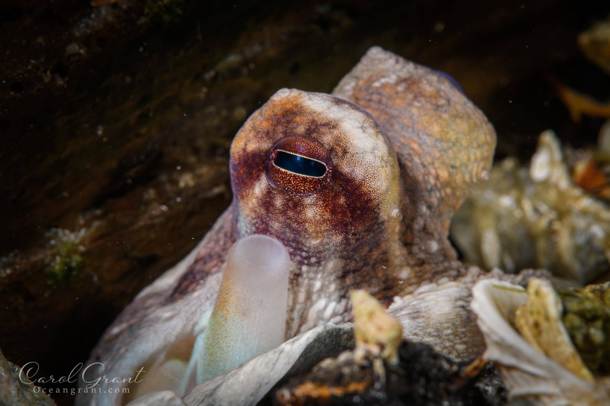 Octopus, scuba diving,Blue Heron Bridge; Florida;©️CGrant/Oceangrant.com