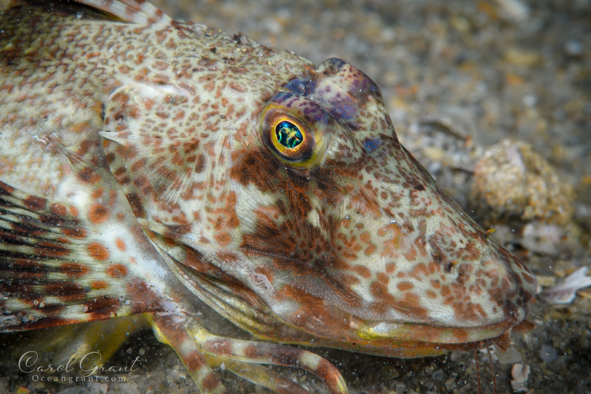 leopard searobin, underwater ©️CGrant/Oceangrant.com ,scuba diving,behavior,